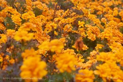 花の丘_マリーゴールド