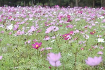 花の丘_コスモス
