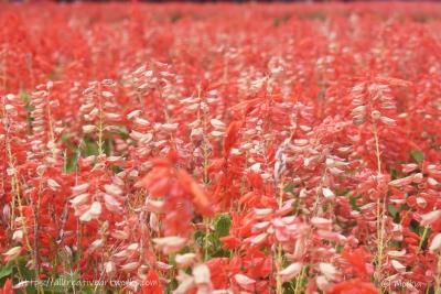 花の丘_サルビア